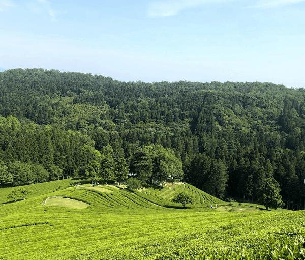 Địa điểm du lịch thú vị ở Hàn Quốc. Nên đi đâu chơi ở Hàn Quốc? Nông trường trà Boseong