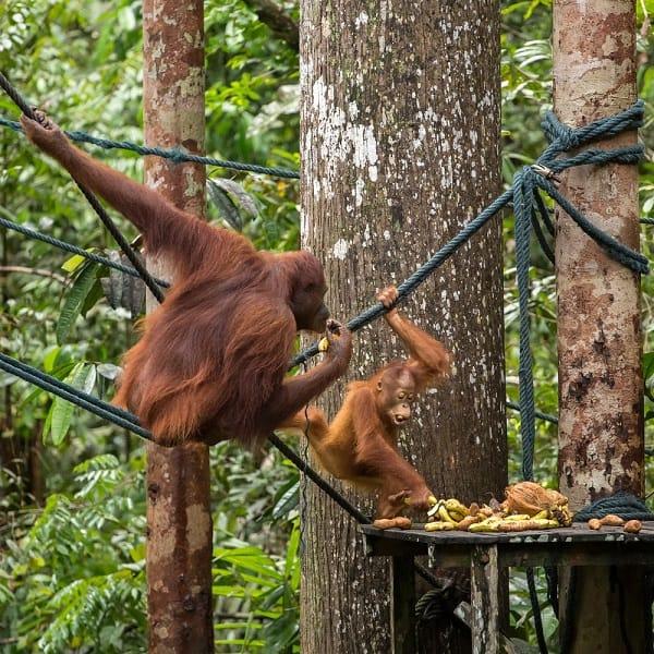 Khu bảo tồn thiên nhiên Semenggoh - điểm tham quan giá rẻ ở Kuching