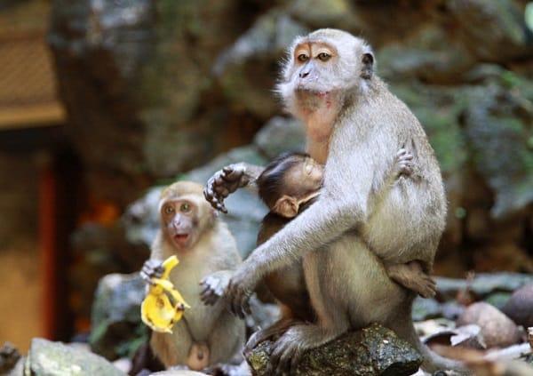 Kinh nghiệm du lịch Batu Caves, cảnh giác với những chú khỉ