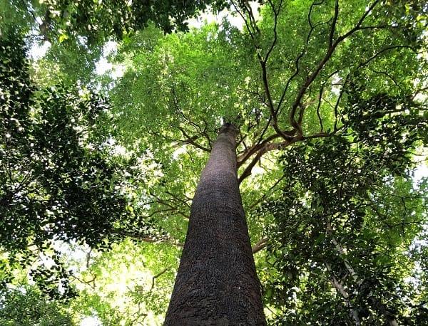 Đến tháp Menara Kuala Lumpur nên làm gì? Check in với cây Jelutong trên 100 tuổi