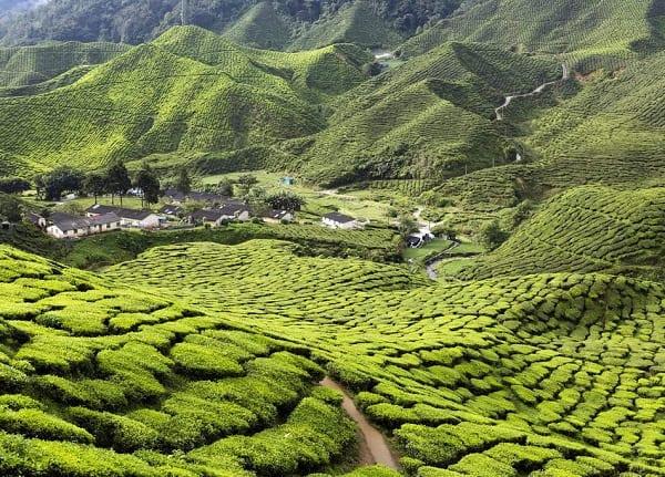 Cao nguyên Cameron, địa điểm tham quan ở Malaysia đẹp, nổi tiếng
