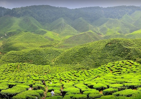 Du lịch Cameron Malaysia nên mua gì về làm quà? Chè Cameron Valley, món quà đặc trưng ở Cameron