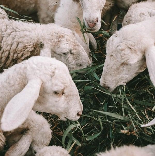 Cực CHILL check in khu du lịch đồng cừu Suối Tiên Cam Ranh. Hướng dẫn du lịch Đồng cừu Suối Tiên đường đi, giá vé, trải nghiệm đẹp