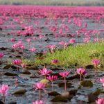 Kinh nghiệm du lịch Udon Thani. Hồ súng