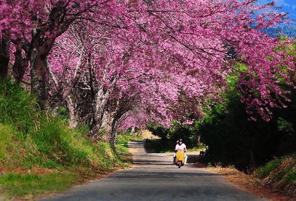 Doi Chang địa điểm ngắm hoa anh đào lớn nhất Chiang Rai, Thái Lan