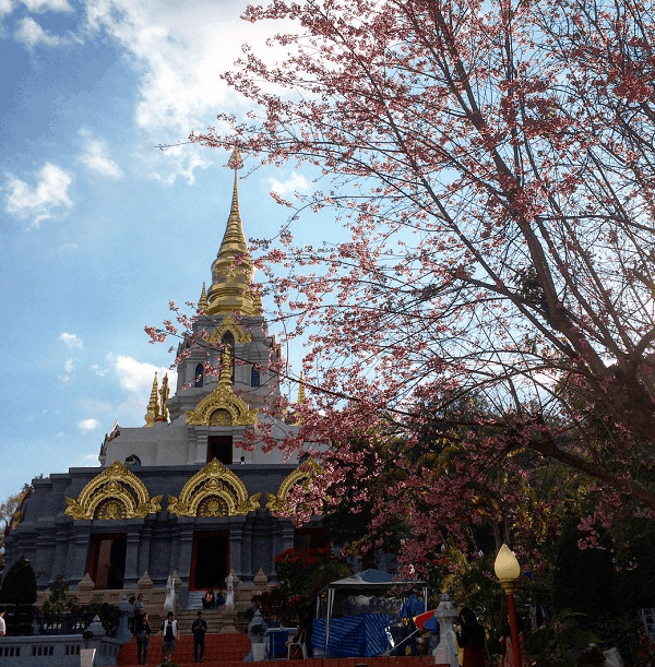 Doi Mae Salong địa điểm ngắm lễ hội hoa anh đào thú vị nhất ở Chiang Rai, Thái Lan