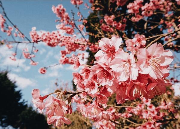 Doi Ang Khang chính là nơi ngắm hoa anh đào đẹp nhất ở Chiang Mai, Thái Lan