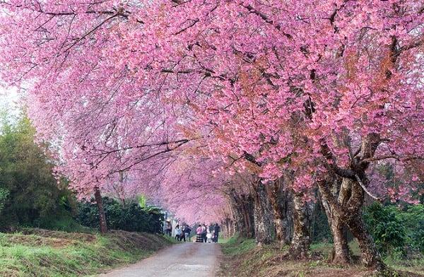 Khun Wang là địa điểm ngắm hoa anh đào nổi tiếng ở Chiang Mai,Thái Lan