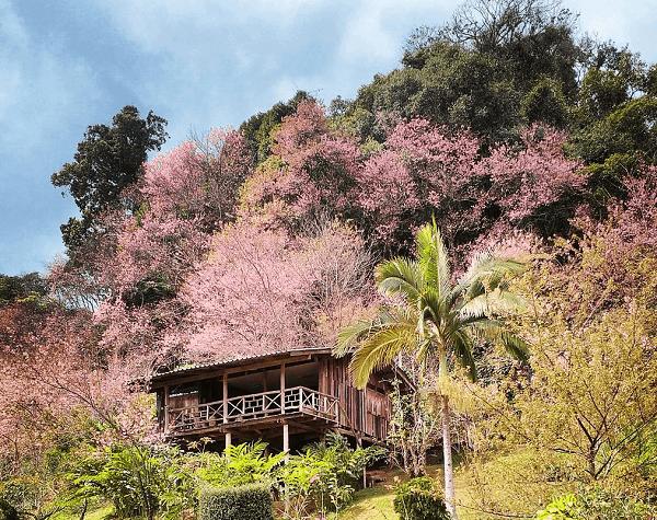 Thời gian ngắm hoa anh đào ở Thái Lan tốt nhất khi nào?