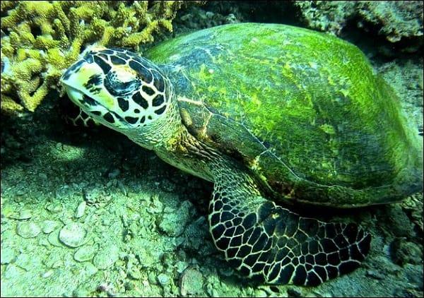 Đến khu bảo tồn rùa con trong chuyến du lịch Koh Tao bạn sẽ được xem cách cho rùa con ăn thế nào